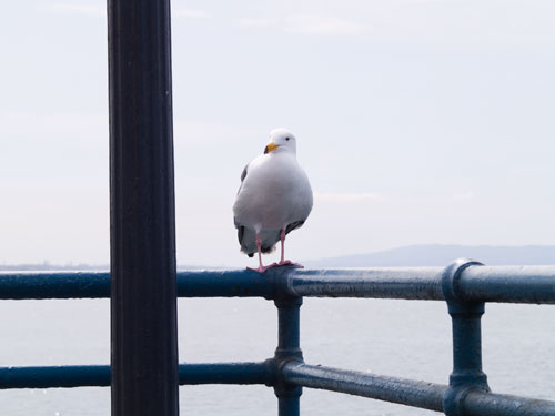 gull at santa monica pier